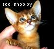 Абиссинские котята Питомник абиссинских кошек sunnybunny.by