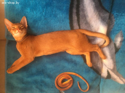 Абиссинский кот на вязку