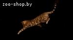 Бенгальский кот приглашает на вязку