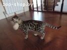 Чистокровные котята бенгальской породы
