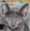 Изумительный котенок дымчатого окраса в добрые руки!