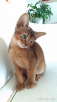 Кошка абиссинской породы шоу класс
