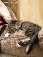 Котенок мальчик в дар
