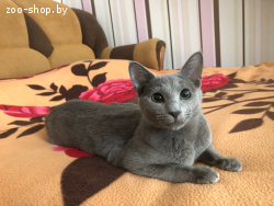 Котята русская голубая, питомник