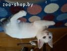 Котята Турецкий Ван, Ванская кошка