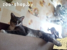 Отдам котика помесь с Египетским Мау