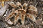 Паук-птицеед Brachypelma albopilosum