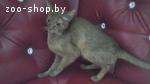 Продается абиссинских кошка