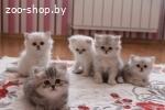 Продам британских длинношерстных котят