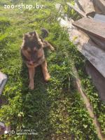 Пропала собака европейская овчарка кобель клячка ричи 6 мем