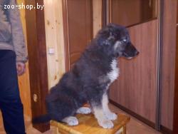 Пять щенков от крупной собаки