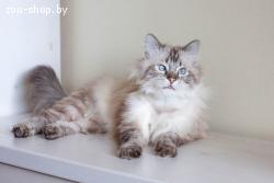 Рифат-престижный кот