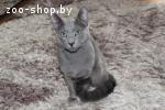Русский голубой кот для вязки