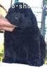 Щенки ньюфаундленда