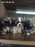 щенки шит-цу