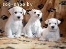 Щенки цвергшнауцера белого окраса (дата рождения 04.02.2017