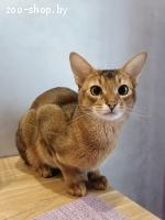 Вязка абиссинский кот
