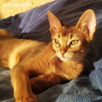 Вязка абиссинского кота