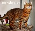 Вязка бенгальских кошек Питомник бенгальских кошек  sunnybun
