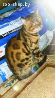 Вязка бенгальского кота