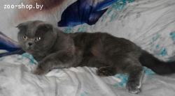 Вязка шотландский вислоухий кот/британец