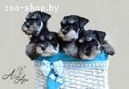 Высокопородные щенки цвергшнауцера черного с серебром окраса